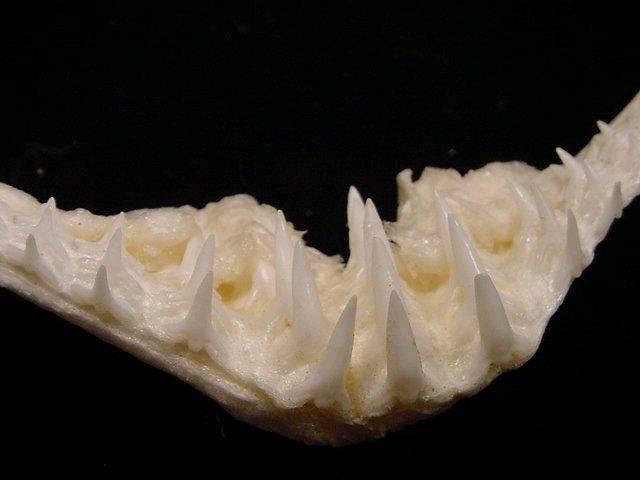 Wobbegong teeth