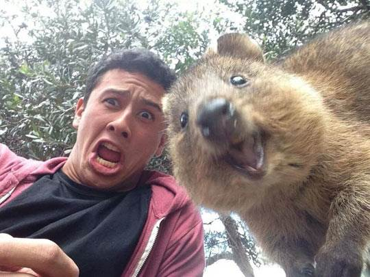 Quokka smiling with a man.