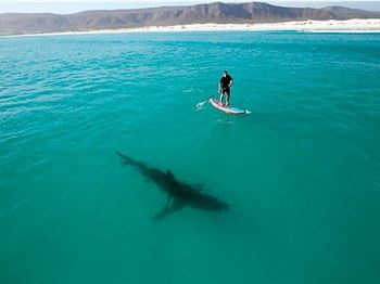 Shark attacks - are you a target? - Stand Up Paddle News