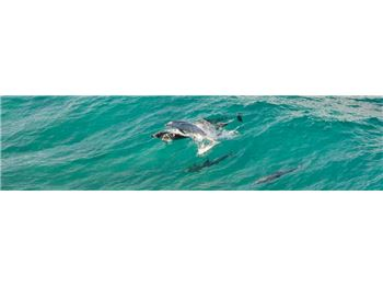 Dolphin collides with Paddler in Mid-air! - Stand Up Paddle News