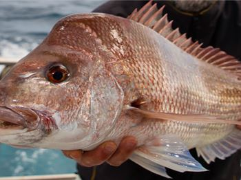 Thousands of Pink Snapper released along WA coastline - Fishing News