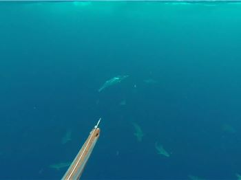 Sharks. Sharks Everywhere! Spearfishing in the Gulf - Fishing News