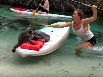 Cheeky Racoon Tries to Steal Stand Up Paddlers Lunch - Stand Up Paddle News