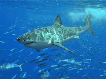 Why can't you see a Great White Shark in captivity?