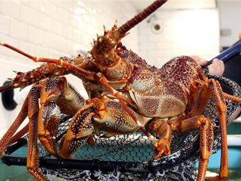 Over $2m in fines for catching Rock Lobster! - Fishing News