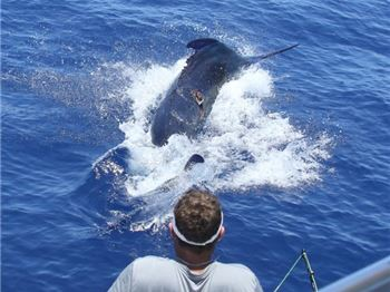Australia's First 1000lb+ Marlin Landed! - Fishing News