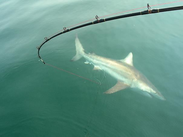 What 39 s worse than being in the water with a shark seabreeze for Shark fishing nc